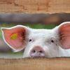 Какие выбрать и купить бирки для свиней в Украине?