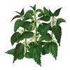 Как правильно применять листья крапивы в лечебных и профилактических целях